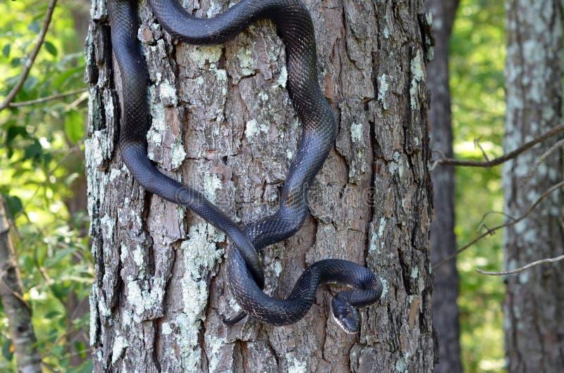 Kletternder Baum der schwarze Ratten-Schlange stockfotos