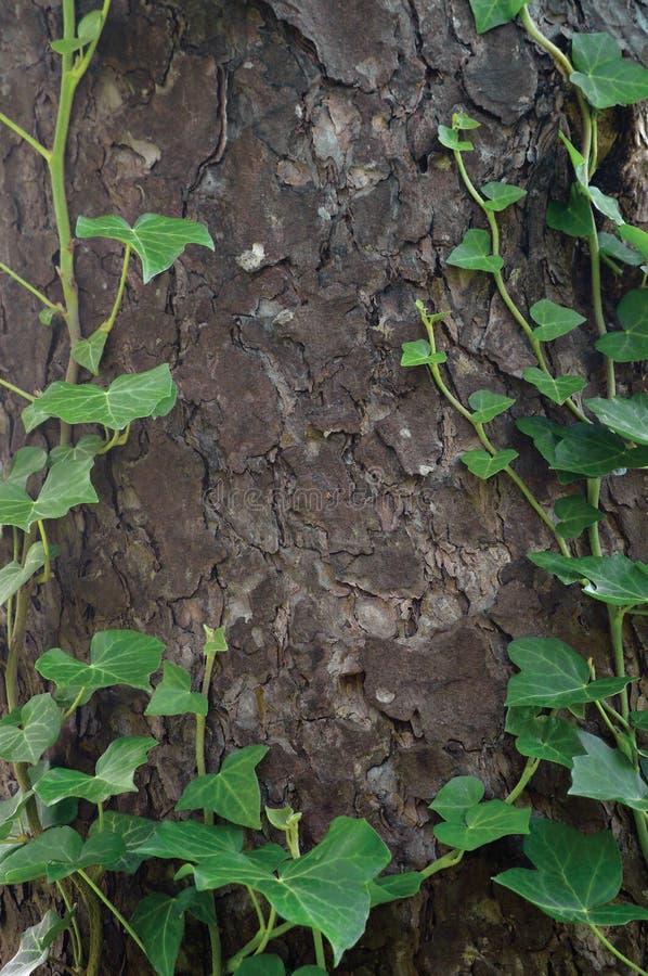 Kletternder gemeiner baltischer Efeu hält, Hederahelix L auf var baltica, frische neue junge immergrüne Kriechpflanze verlässt, g stockfoto