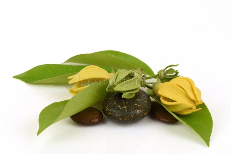 Kletterndes Ilang-Ilang, kletterndes ilang-ilang, manorangini, hara-champa oder kantali champa, Blumen stockbilder