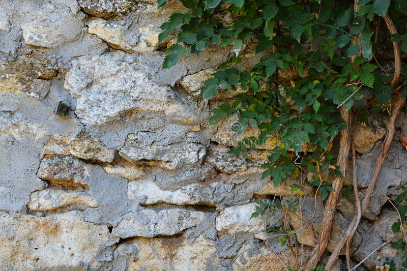 Kletterpflanze auf der Steinwand lizenzfreies stockfoto