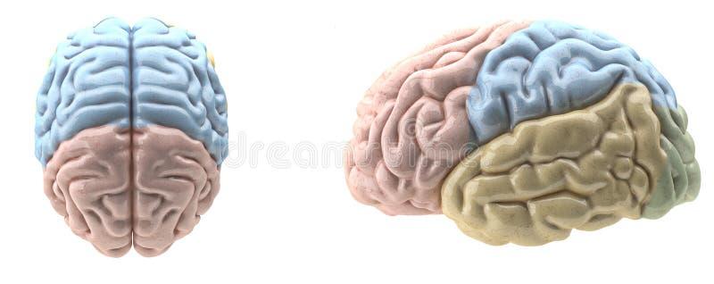 Kleur in kaart gebrachte hersenen royalty-vrije illustratie
