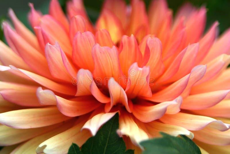 Kleur me, Dahlia royalty-vrije stock afbeelding