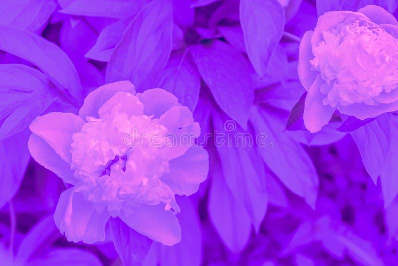 In kleuren ultraviolet concept Van de ultraviolette de abstracte achtergrond pioenbloem royalty-vrije stock fotografie