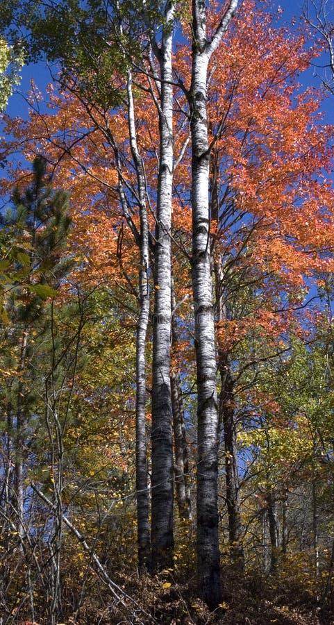 Kleuren van de daling, de Bomen die van de Berk zich lang de bevinden stock foto