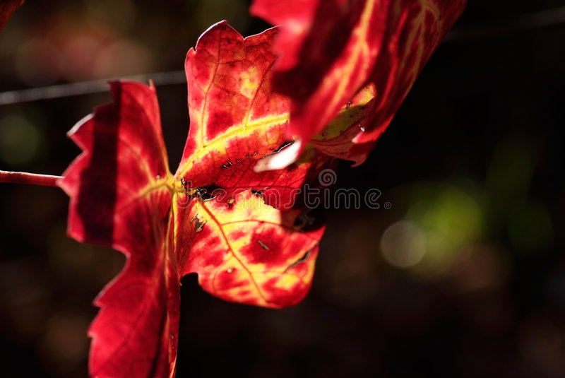 Kleuren van de herfstwijnstok stock afbeeldingen