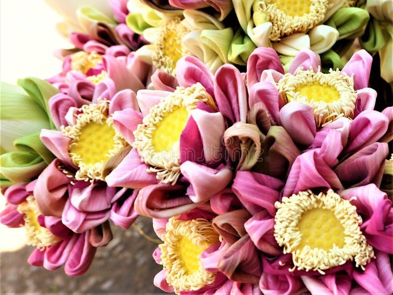 Kleuren van Lotus royalty-vrije stock foto
