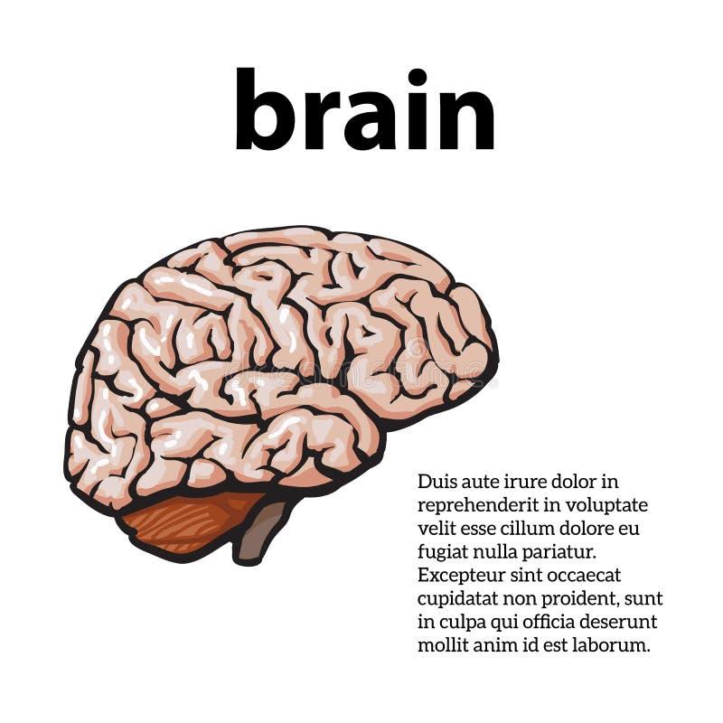 Kleurenclose-up van menselijke hersenen royalty-vrije illustratie