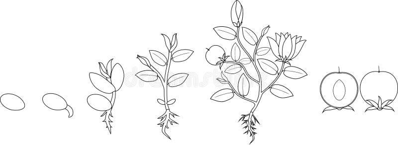 Kleurende pagina Stadia van de groei van bloeiende installatie van zaad stock illustratie