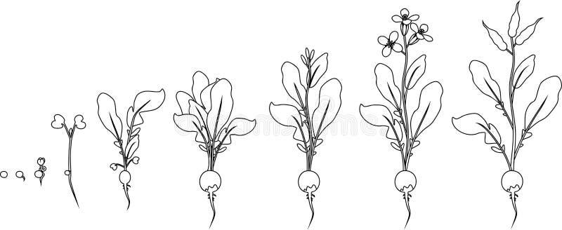 Kleurende pagina Stadia van de radijsgroei van zaad en spruit aan het bloeien en vruchtendragende installatie stock illustratie