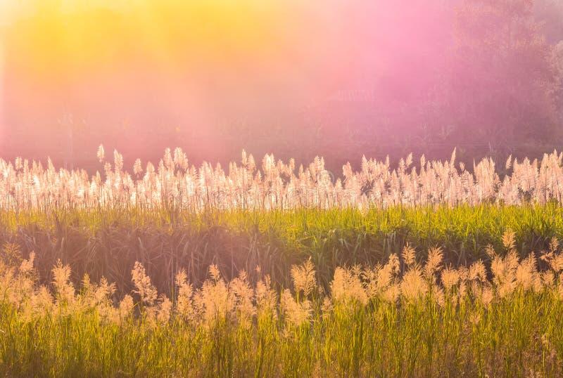 Kleurensilhouet van riet-bloem gebied stock fotografie