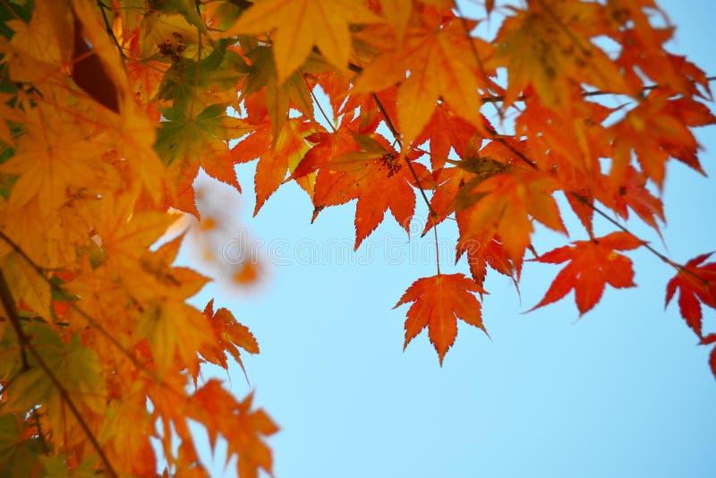 Kleurenverandering van Esdoornbladeren stock afbeeldingen