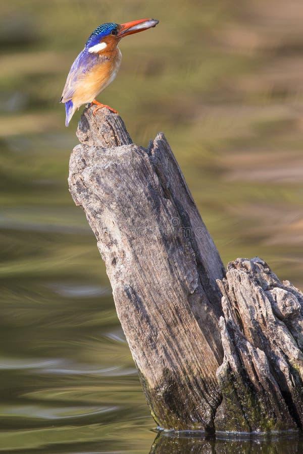 Kleurrijk beeld van malachietijsvogel met vissen in zijn bek stock foto