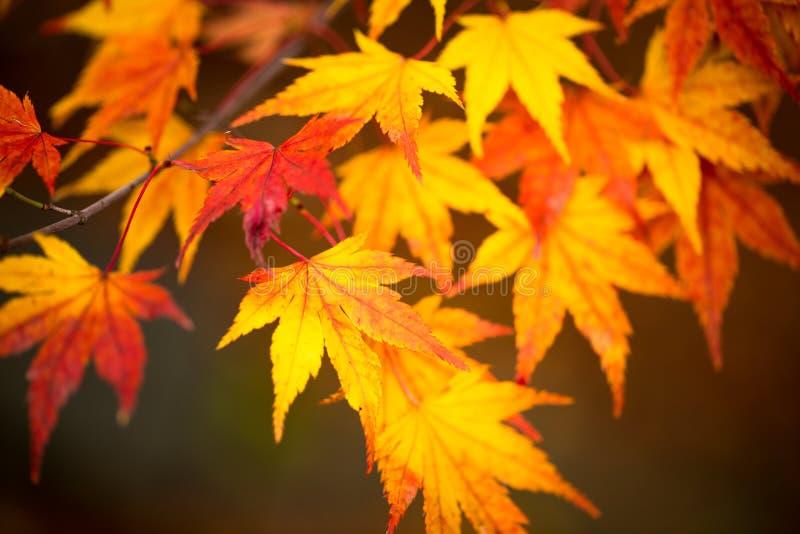 Kleurrijk esdoornblad in de herfst stock foto's