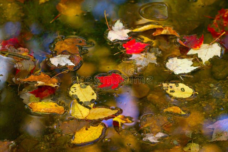 Kleurrijk gebladerte die in het donkere dalingswater drijven royalty-vrije stock afbeeldingen