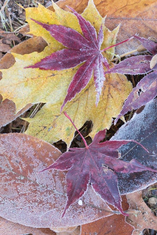 Kleurrijk gebladerte met vorst op een weide stock afbeeldingen