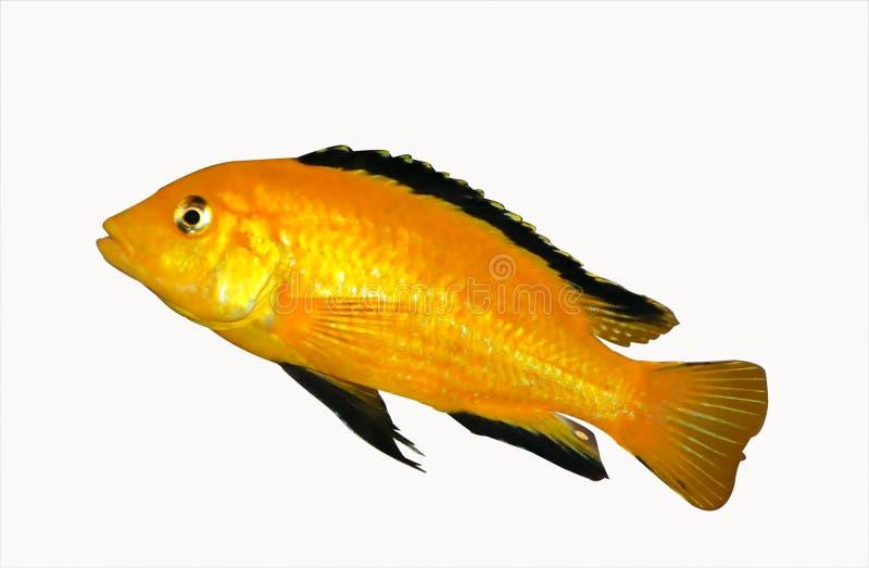 Kleurrijk geel Malawi cichlid stock afbeelding
