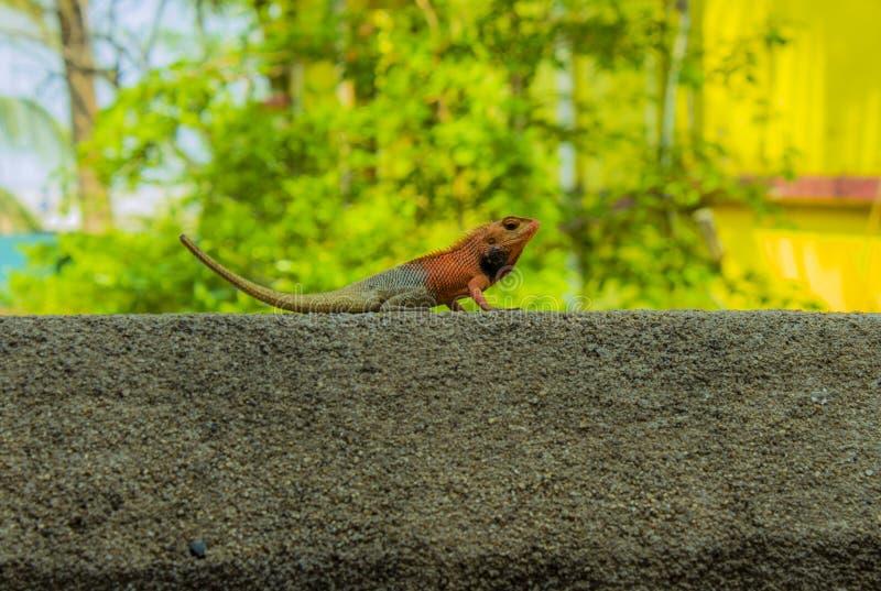 Kleurrijk Kameleon royalty-vrije stock fotografie