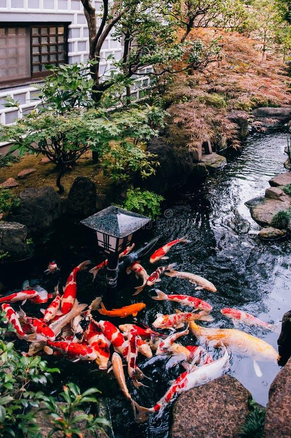Kleurrijk Koi Carp Fish in Japanse tuinvijver met installaties, tre royalty-vrije stock afbeelding