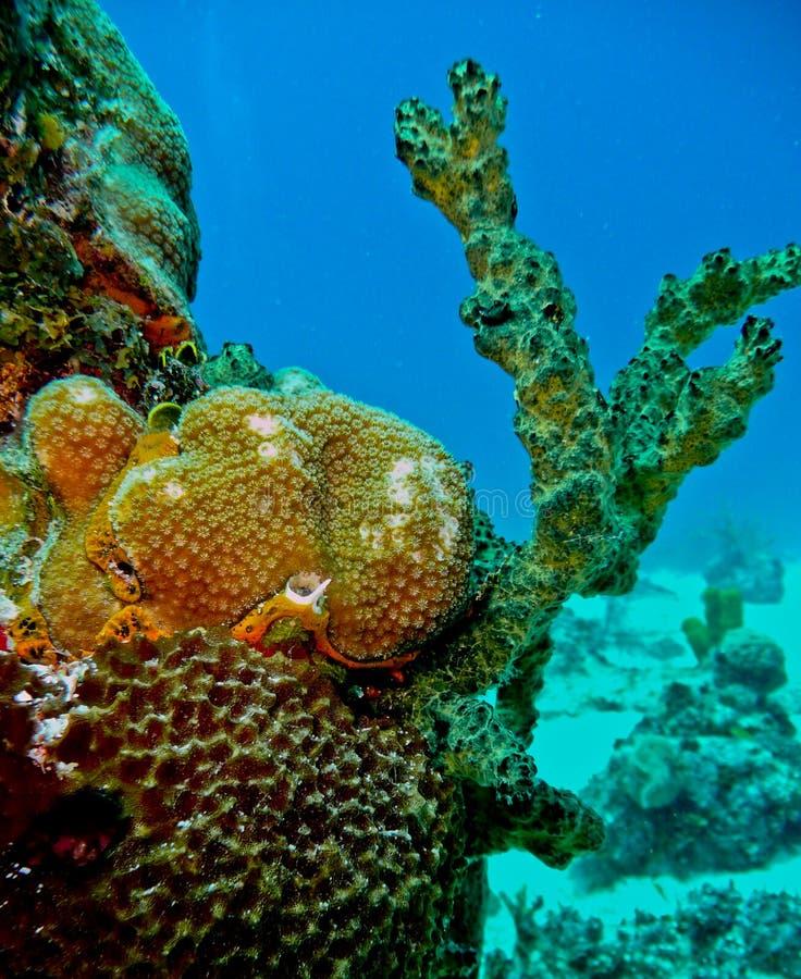 Kleurrijk koraal bij San Andres, Colombia stock afbeelding