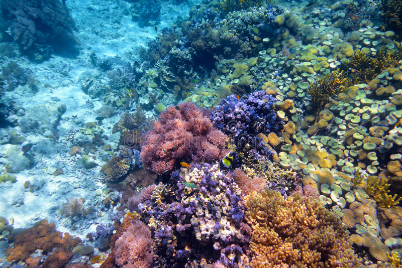 Kleurrijk koraalrif met harde koralen bij de bodem van tropisch s royalty-vrije stock afbeelding