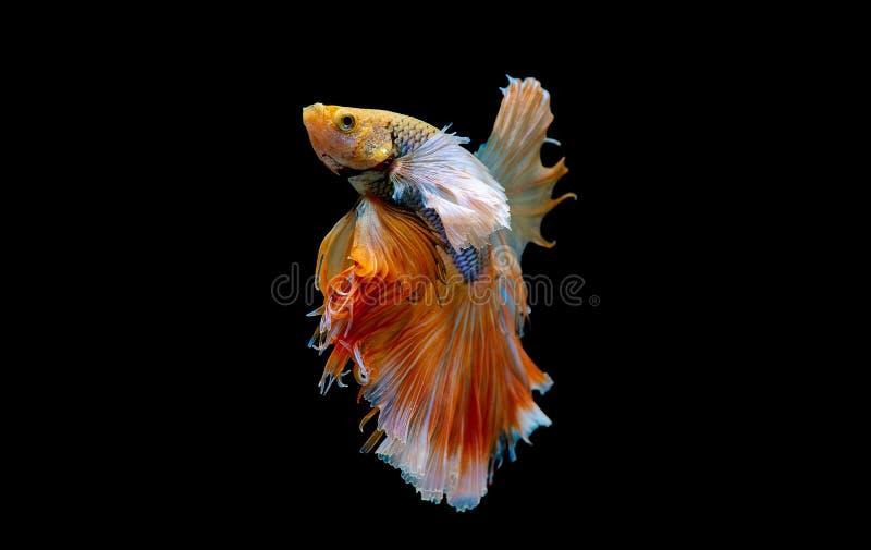 Kleurrijk met hoofdkleur van witte en gele bettavissen, werd Siamese het vechten vis ge?soleerd op zwarte achtergrond Vissen ook  stock afbeelding