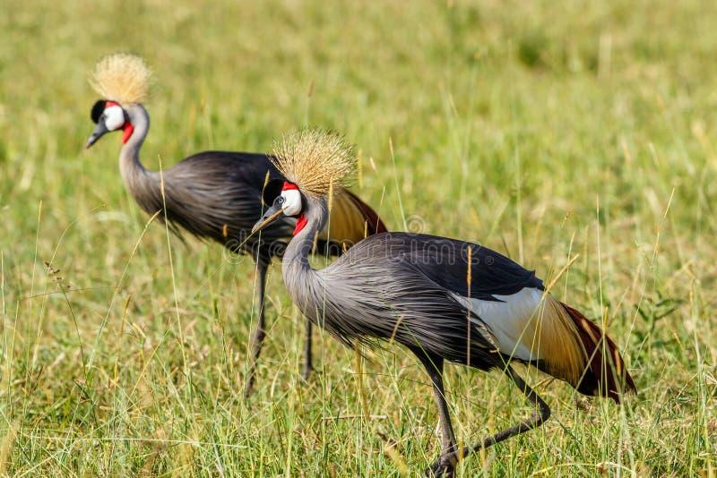Kleurrijk paar van Grey Crowned Crane op de Afrikaanse savanne royalty-vrije stock foto's