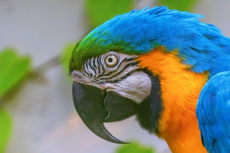 Kleurrijk portret van Blue and Yellow Macaw, bekend als de Blue and Gold Macaw royalty-vrije stock afbeelding