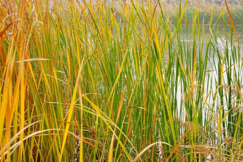Kleurrijk riet bij meerbank in de herfst stock afbeeldingen