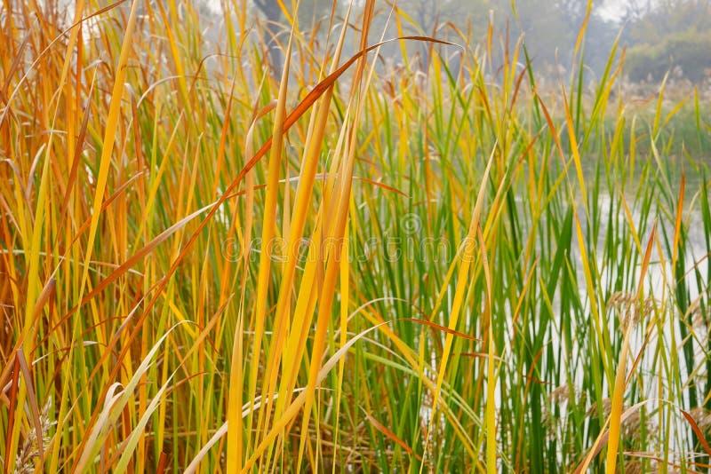 Kleurrijk riet bij meerbank in de herfst stock foto's