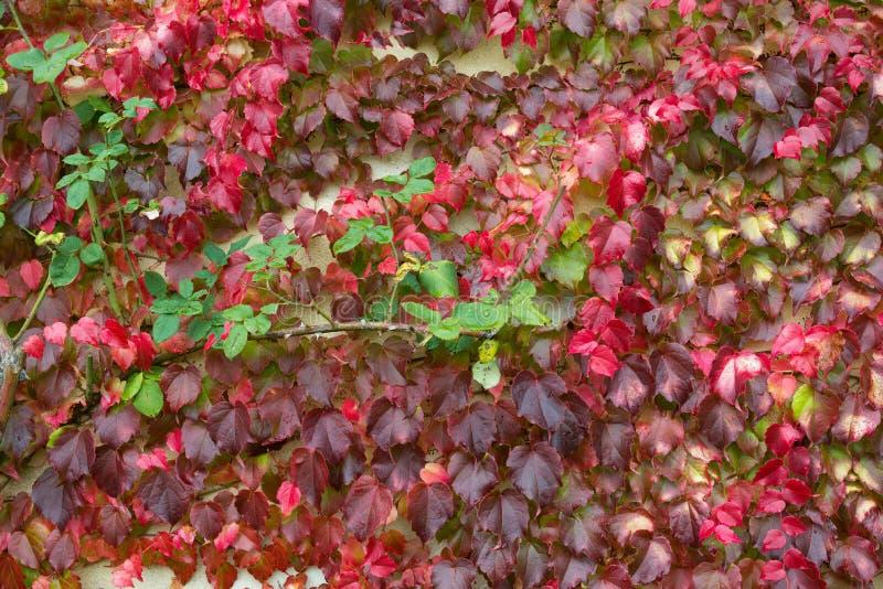 Kleurrijk Rood, Lilac, Groen en Geel Autumn Leaf Of Ivy Creeper op de Muur Kleurrijke Natte Bladeren van Ivy Covering The Wall Kl stock foto