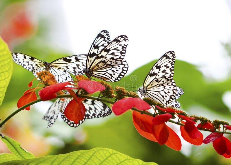 Kleurrijk Schouwspel met de Vlinders van de Vlieger of van het Rijstpapier van het Document stock foto