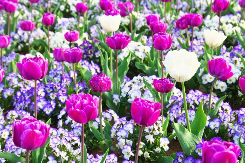 Kleurrijk tulp en viooltjebloemgebied royalty-vrije stock foto's