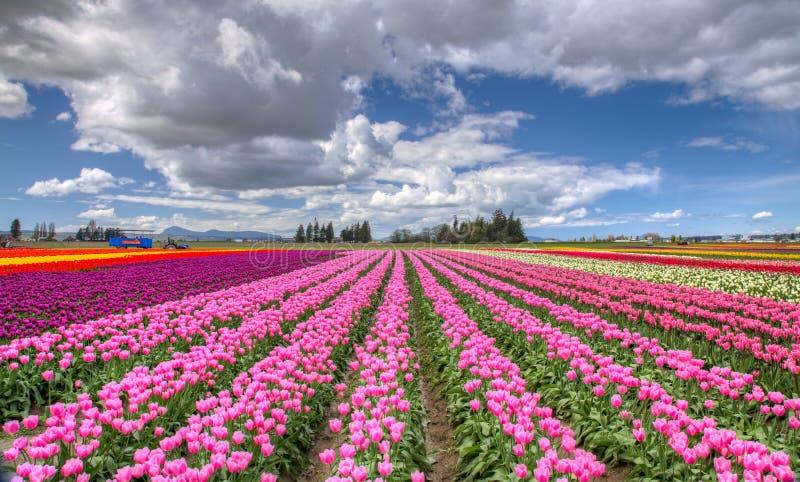 Kleurrijk tulpengebied royalty-vrije stock foto's