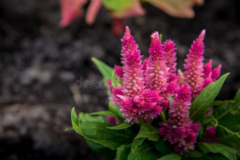 Kleurrijk van hanekambloem Roze bloem Groen blad stock foto's