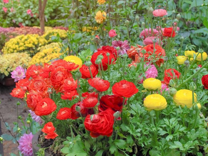 Kleurrijk van Ranunculus Asiaticus en nam toe stock foto