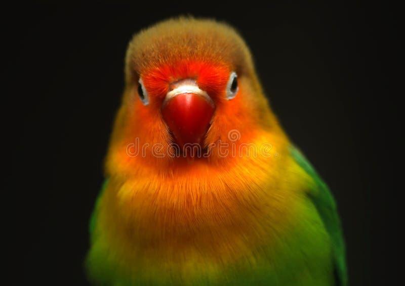 Kleurrijk weinig papegaai royalty-vrije stock fotografie