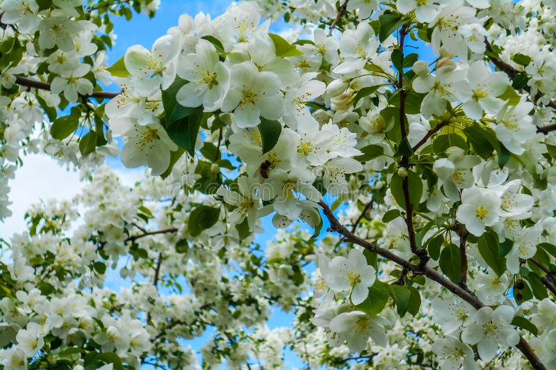 Kleurrijke Apple-bloesems tegen blauwe hemelachtergrond De luifel van bomen die een duidelijke blauwe hemel ontwerpen royalty-vrije stock afbeeldingen