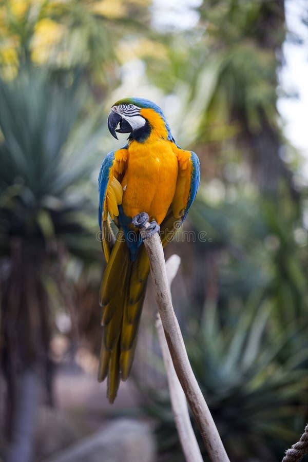 Kleurrijke arapapegaai royalty-vrije stock afbeelding