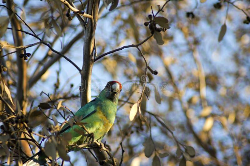 Kleurrijke Australische Ringneck-papegaai royalty-vrije stock foto's