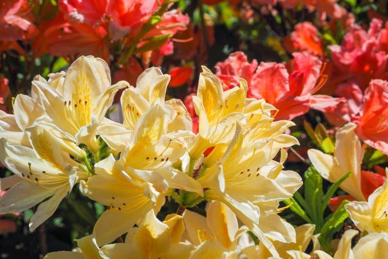 Kleurrijke azalea, rododendronsbloei prachtig in het Park Close-up stock afbeeldingen