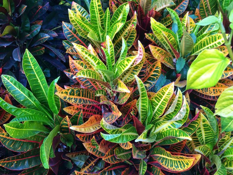 Kleurrijke bladeren Croton royalty-vrije stock foto