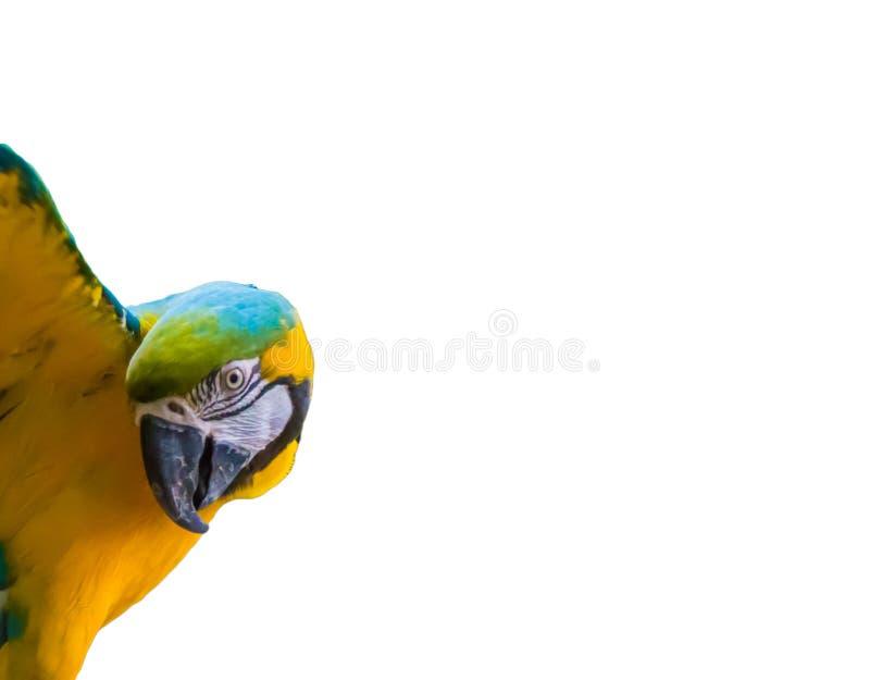 Kleurrijke blauwe en gele arapapegaai met open die vleugels op een witte achtergrond worden geïsoleerd stock foto