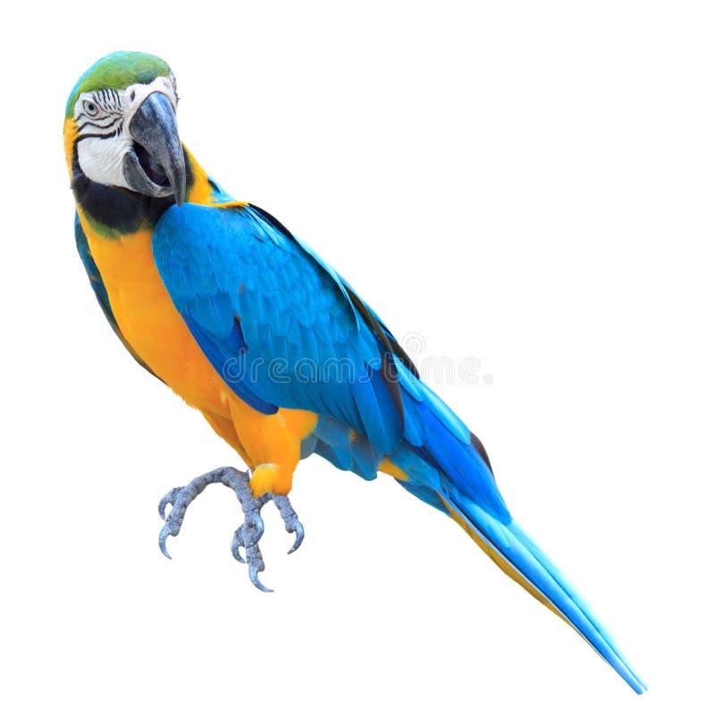 Kleurrijke blauwe geïsoleerdeg papegaaiara stock afbeelding