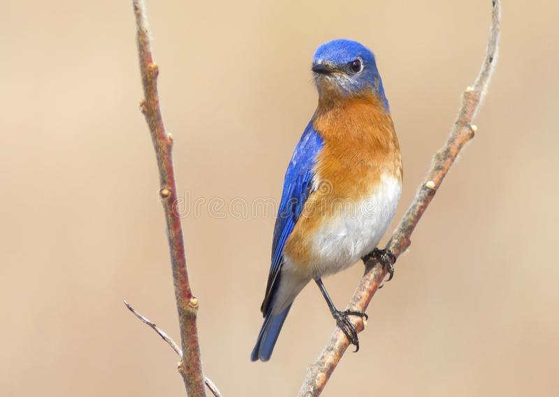 Kleurrijke Blauwe Vogel - de Mannelijke Oostelijke Sialia in Ontario stock foto's