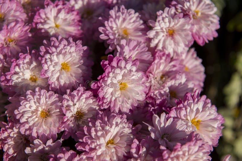 Kleurrijke bloem in tuin stock afbeelding