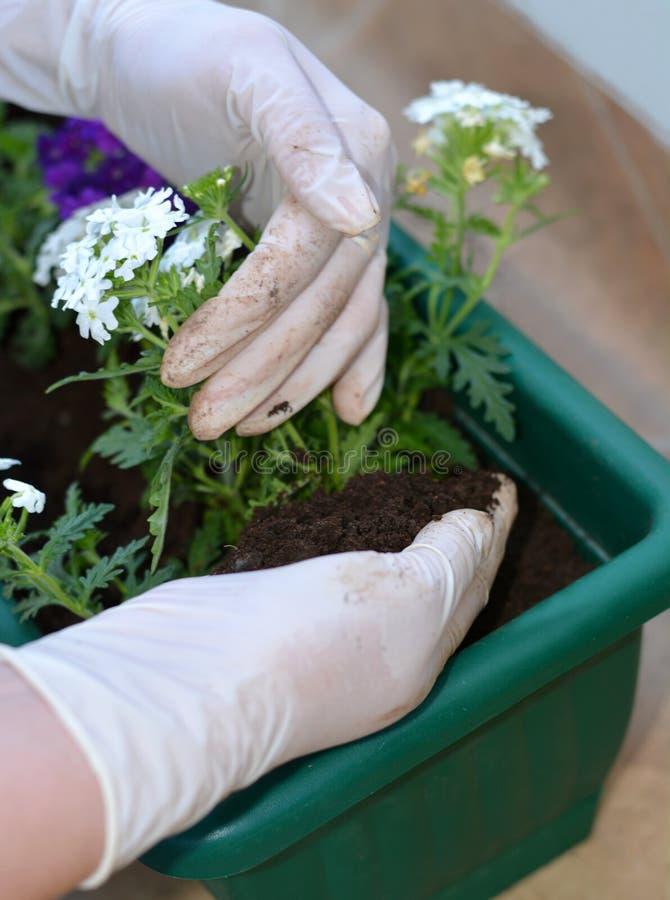 Kleurrijke bloemen in pot royalty-vrije stock foto