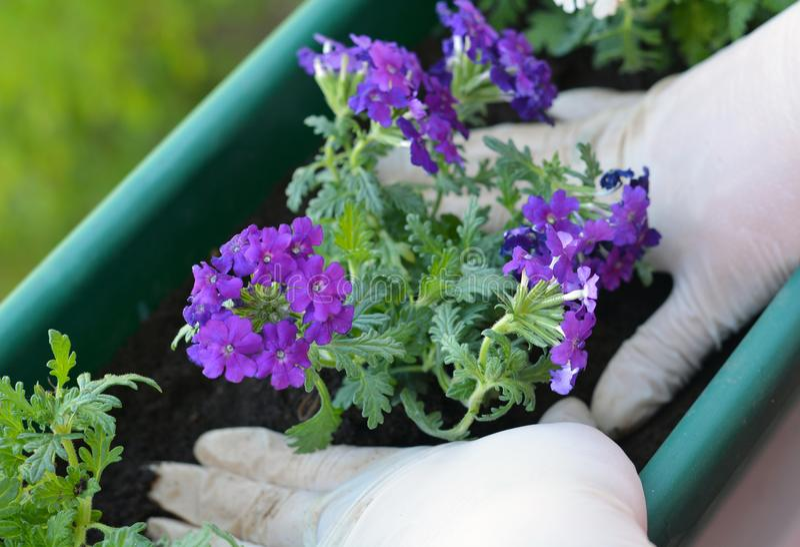Kleurrijke bloemen in pot royalty-vrije stock afbeelding