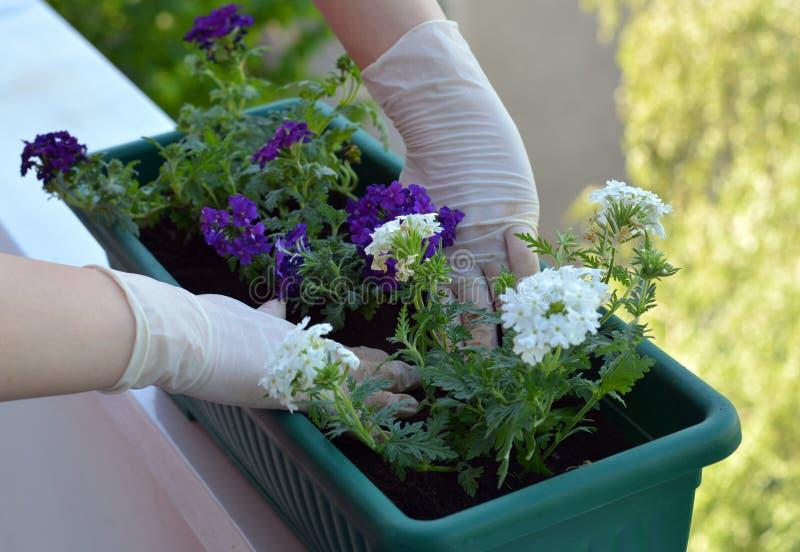 Kleurrijke bloemen in pot stock foto's