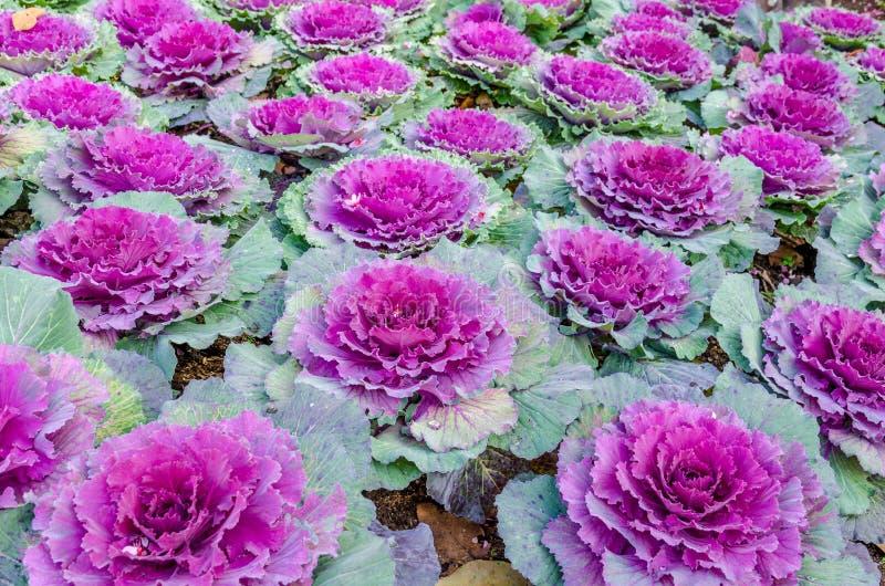 Kleurrijke bloemkool royalty-vrije stock afbeeldingen