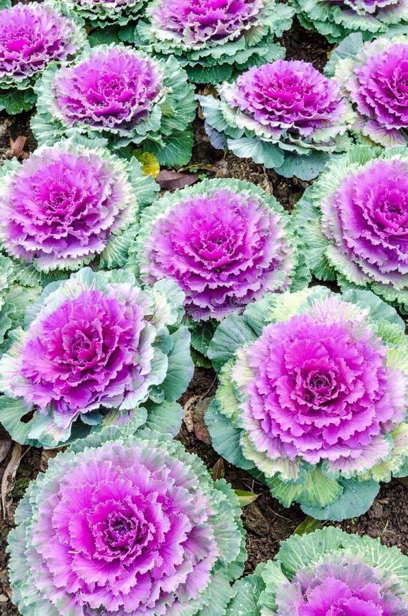 Kleurrijke bloemkool stock fotografie